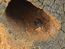 Mravenec dřevokaz