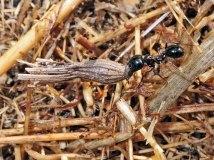 Mravenec zrnojed Messor cf. wasmanni