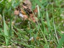 Mravenec žlutý, páření