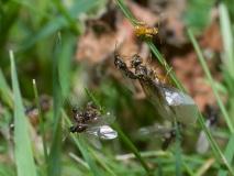 Mravenec žlutý, rojení
