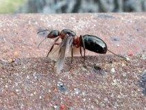 Mravenec obecný