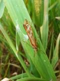 Chrostík Limnophilus lunatus