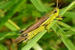 Kobylky a sarančata