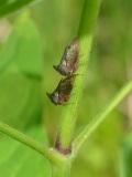 Ostnohřbetka Centrotus cornutus