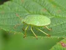 Kněžice zelená