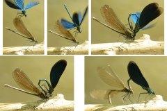 Motýlice obecná, páření 1