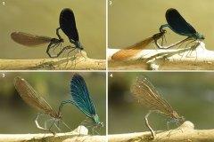 Motýlice obecná, páření 2
